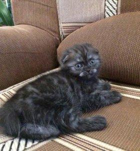 Продаем шотландского вислоухого котенка (девочка)