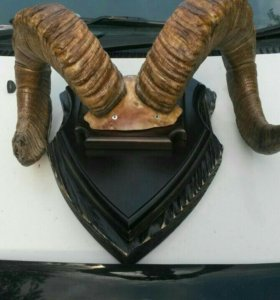 Продам огромные рога Снежного барана(муфлона)