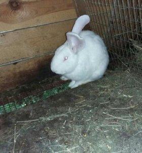 Кролик породы Белый великан .