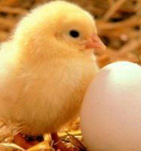 Цыплята подрощеные