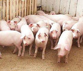 Свинья молодая беконной породы ландрас