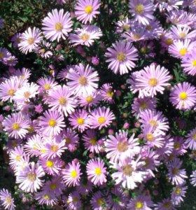 Астра бордюрная (садовое растение)