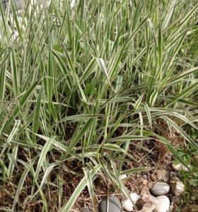Фалярис тростниковый, пестролистных (Канареечник)
