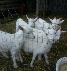 Козлики, коза, козёл.