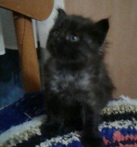 Кошечка от Сиамки