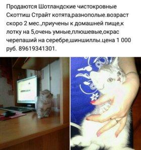 Продам Скоттиш Страйт котяток