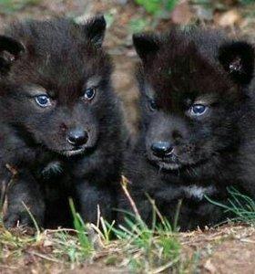 Волчата Черного Канадского Волка