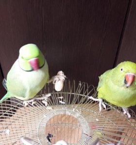 Попугаи ожерельевые  говорящие с клеткой