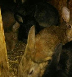 Кролики мясной порды