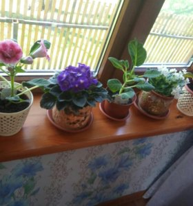 Цветы Глаксинья