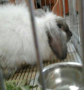 Крольчиха ангорская вислоухая