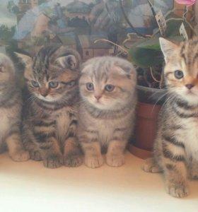 Лучшие из Лучших - котята ,Шотландцы-карапузы