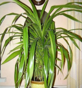 Панданус Вейча пёстролистный - винтовая пальма