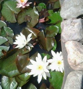 нимфея (водяная лилия)