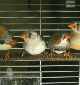 Амадины птенцы