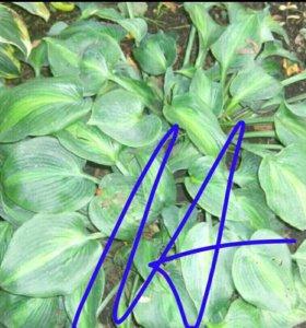 N6Хоста.Растения для сада.Многолетники.