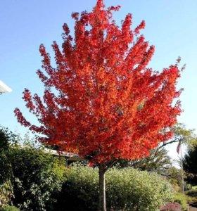 Красивый красный клен 5 метров