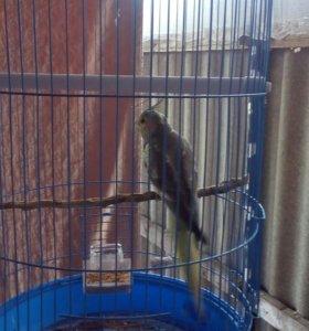 Папугай Карело