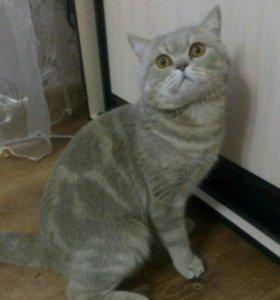 Британского кота на вязку оренбург