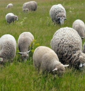 Продаем овец.