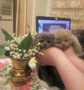 британские котята,осталась одна вислоухая девочка