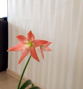 Гиппеаструм (Лилия комнатная)