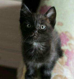 Шоколадный котенок