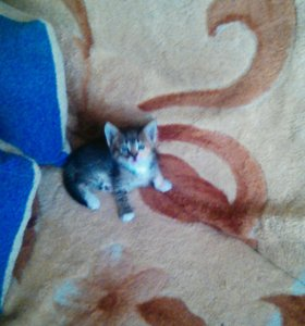 Котята девочки 1.5 месяца