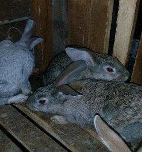 Кролики 6 мес-550 руб,1 мес-300руб;1,5-350 руб.