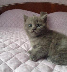Продам британского котенка, девочка
