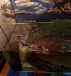 Красноухая черепаха .