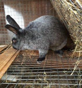 Кролик серебро полтавское