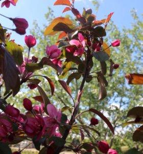 Яблоня декоративная (саженцы)