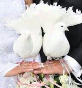 Голуби на свадьбу(в коробке)