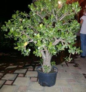 Продам денежные деревья (толстянка)
