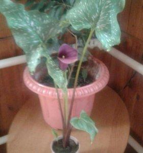 Фиолетовая калла