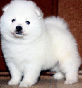 Японский шпиц белоснежные щенки