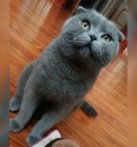 Вязка британский вислоухий кот