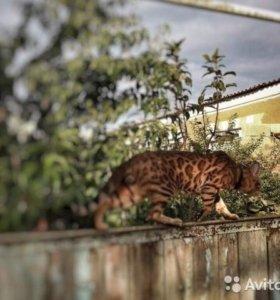 Кот бенгальский приглашает на вязку