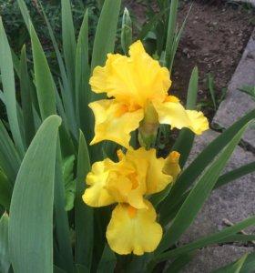 Цветы .Ирис