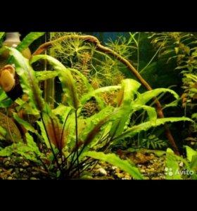 Растение Криптокарина