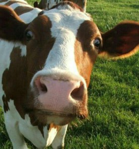 Коровы Телята