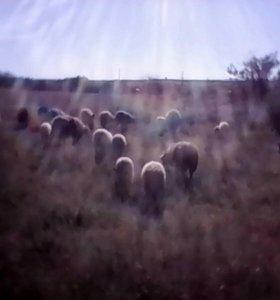 Продам овец.