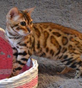 Доминик, бенгальский котик