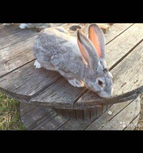 Кролики великаны живые и мясо