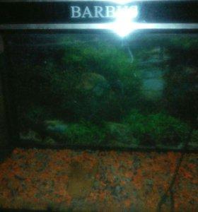 Аквариум барбус 150литров