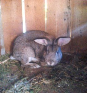 Кролик самец