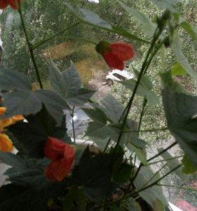 Абутилон (клён) комнатные растения