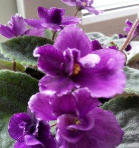 Фиалка комнатные растения