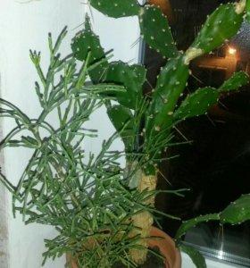 Цветок кактусы